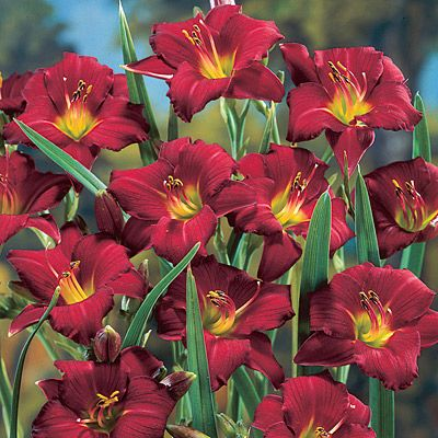 Pardon Me Day Lily -   http://thegardeningcook.com/how-to-grow-the-best-daylilies/