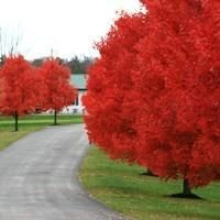 Autumn Blaze® Red Maple - possible tree- fast growing , grows three feet per year/ cross between red maple and silver maple. I <3 TREES!!!!
