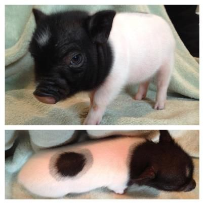 (97) Mini Pigs for Sale by HoneyIshrunkthePigs