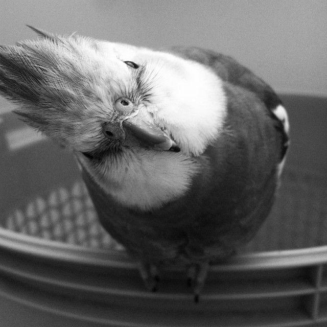 Curious cockatiel. My baby Simon.