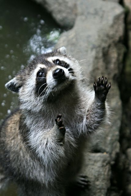 tiny-creatures:  Racoon by bakariu on Flickr.
