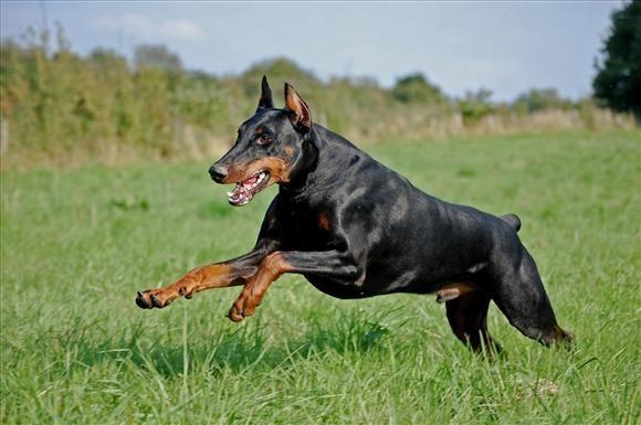 Raza de perros: Doberman - http://www.mundoperros.es/raza-de-perros-doberman/
