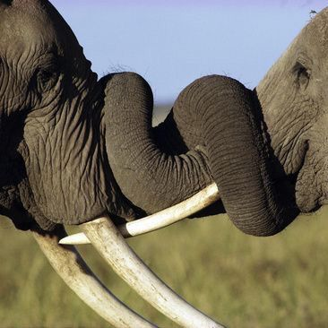 elephant love - love that the one on the right looks like it's smiling