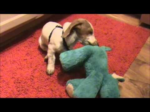 Watch this original video presentation of Lincoln the Miniature Dachshund Puppy. So cute, nothing beats a Puppy!