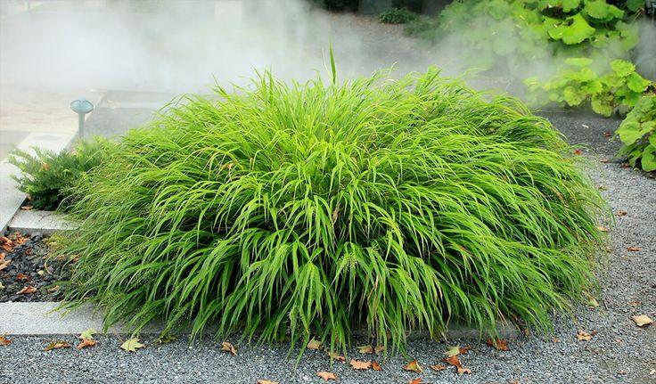 Hakonechloa macra (Japans gras) is een heel sierlijke pol breedbladig gras. Perfecte plant voor grote vlakken, maar ook als solitair. In de herfst verkleurt het blad mooi naar geel- oranje- en roodtinten.