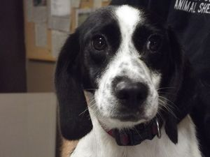 Tasha is an adoptable Beagle Dog in Shelbyville, IN. The story goes that this adorable little black and white beagle mix showed upat someone's house around the 8000 North block of 700 West awhile ago...