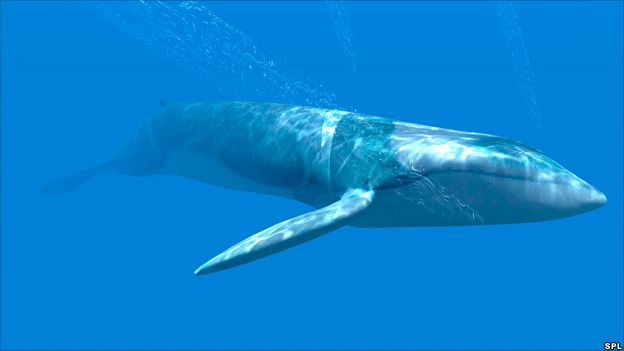 Blue whales are the largest mammals, and possibly the largest animal of any kind to have lived on Earth. A 33-metre long, 190-tonne whale has been seen, but most are smaller than this.