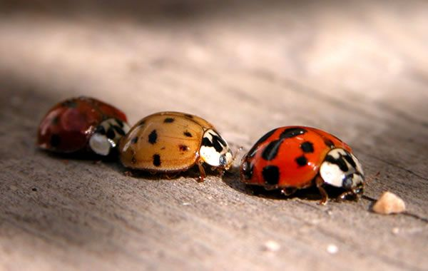 LadyBugs ; <3 FAV.