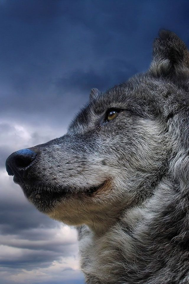 Magnificent Wolf