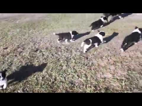 Border Collie para venda - http://www.highpa20s.com/link-building/border-collie-para-venda/