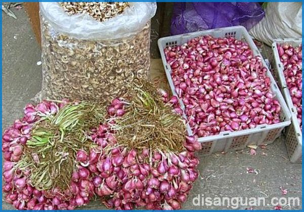 Tips bercocok tanam bawang sumenep yang baik untuk bawang goreng berkualitas