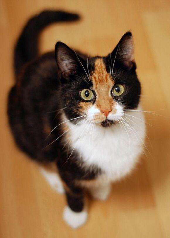 Imagem de http://cdn.cutestpaw.com/wp-content/uploads/2014/05/l-Calico-Cat..jpg.