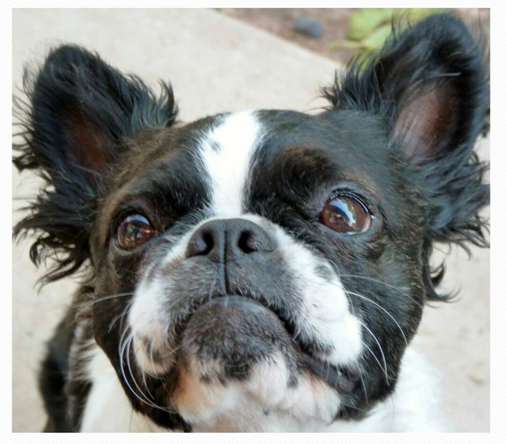 Utterly adorable!  I have never seen a long haired Boston Terrier until I saw this picture.