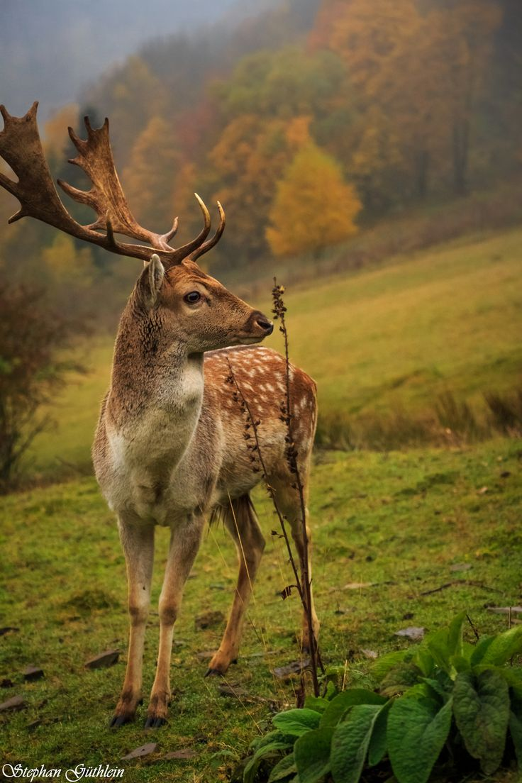 Fallow deer by Stephan Güthlein