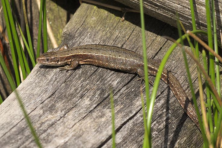 The Common Lizard is not so common now