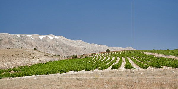 Desert Crop: On the road to Baalbek, surprised to see many established crops surviving the summer desert heat. It�s amazing how they adapt and survive...