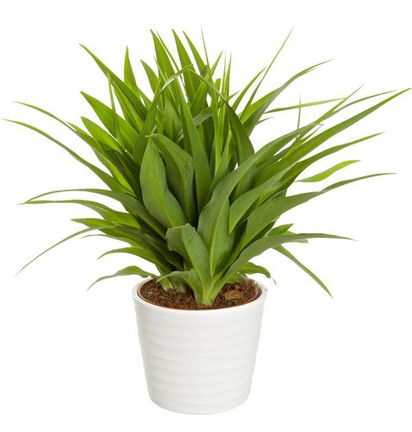 Ampellilja Grön 39,90 kr från Blomsterlandet