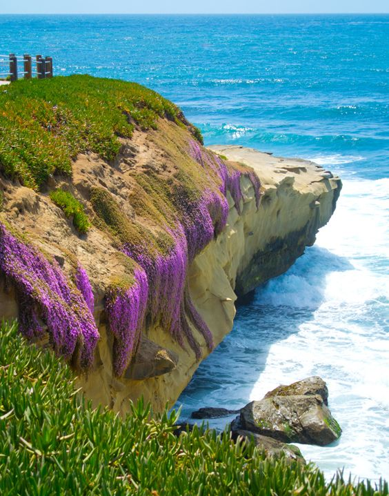 La Jolla Cove California - i don't think i've ever seen the purple flowers there.  pretty!