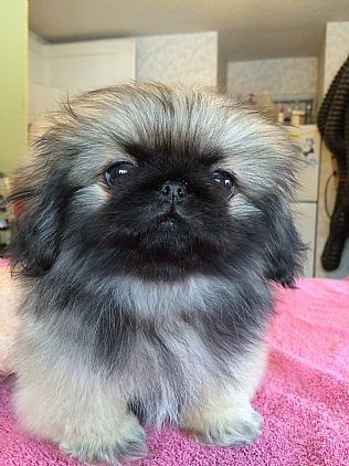 Pekingese Puppies Pet Dog Puppies For Sale in Lake George, NY A00006 | Want Ad Digest Classified Ads