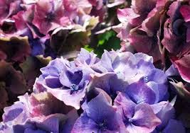 Image result for hydrangeas