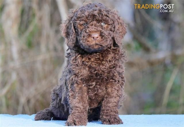 Medium Groodle Golden Retriever X Poodle Puppies For Sale In