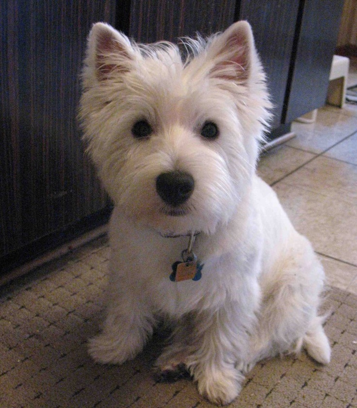 sitting on his side-hip!...Brody is just like my Westie!....lol