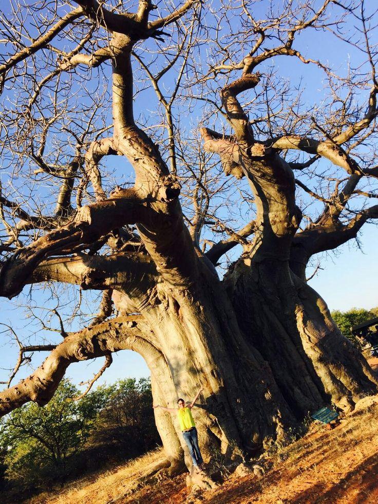 Baobab tree Tsipise