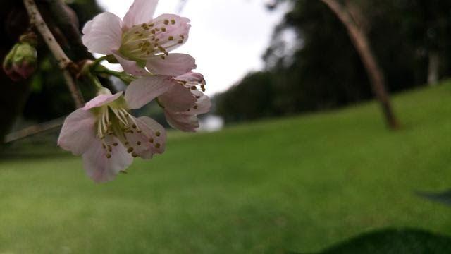 Gambar Bunga Sakura Di Cibodas Sakura Mekar Dan Sensasi Pagi Di Kebun Raya Cibodas Regional Universitas Jayabaya Bunga Saku Gambar Bunga Bunga Sakura Bunga