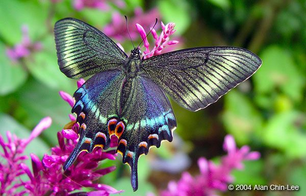 Alpine black swallowtail butterfly