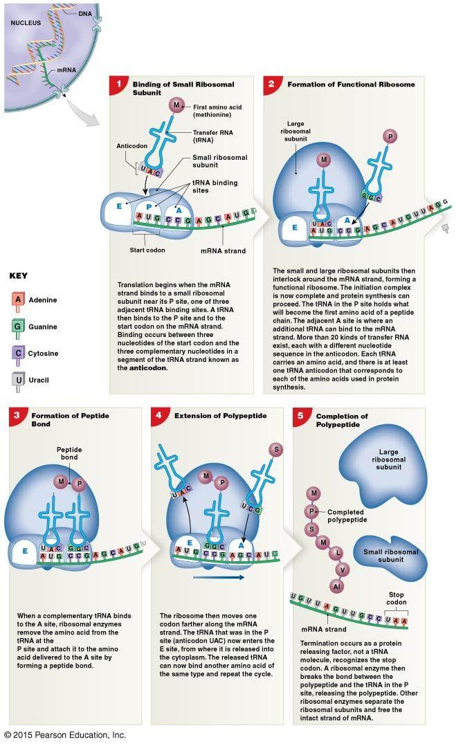The Process Of Translation Biology Notes Study Biology