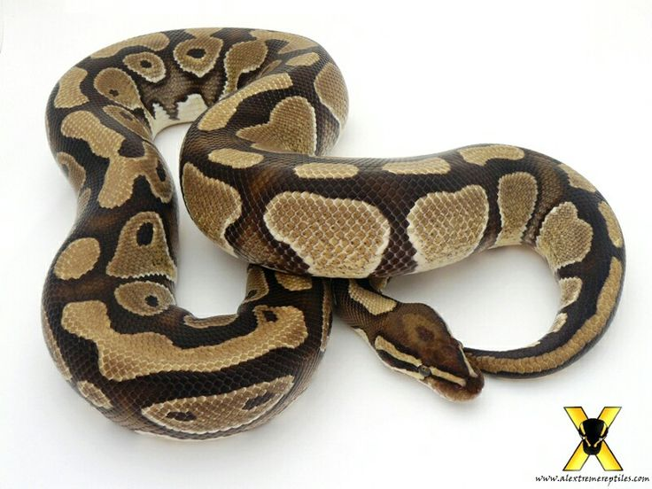 Exceptionnel 66 best Python Regius morpen images on Pinterest | Python regius  PE67