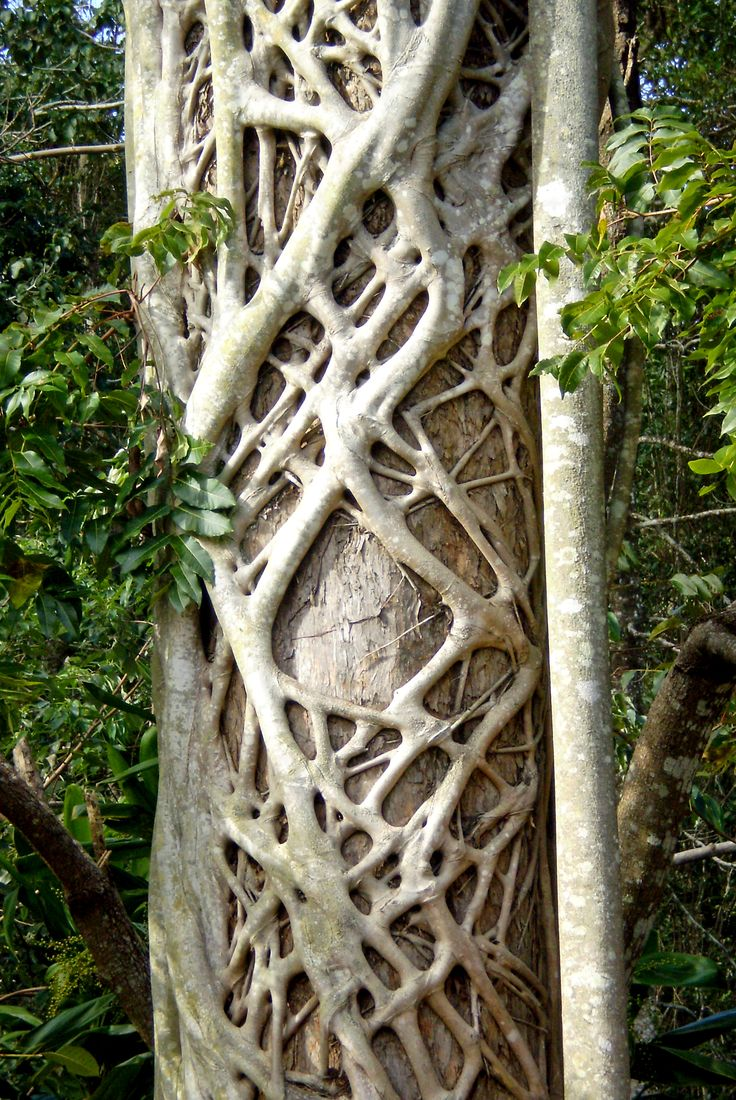 A tree with a strangler fig growing on the surface creates an amazing pattern. Image taken near Mackay Qld. Aust.