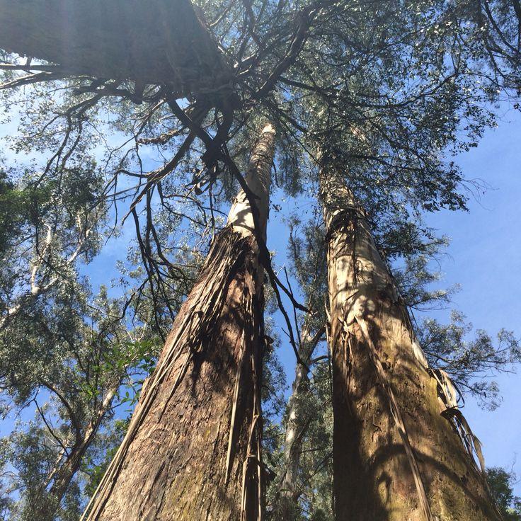 Bushwalking amongst mountain ash trees: Sassafras Mt Dandenong