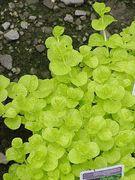 Lysimachia nummularia 'Aurea' / Golden Creeping Jenny