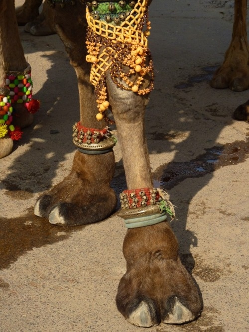 Camels need to have style, even camels wear anklets . . . So cool. #Camel #Style