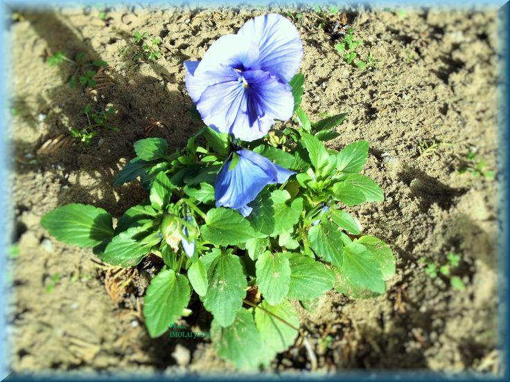 Viola wittrockiana, purple