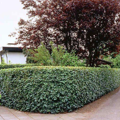 Achat Acer Campestre - Erable champetres Plante 40 60 cm. En Racine Nue Acer Campestre Érable champetrès est une plante feuilles caduques