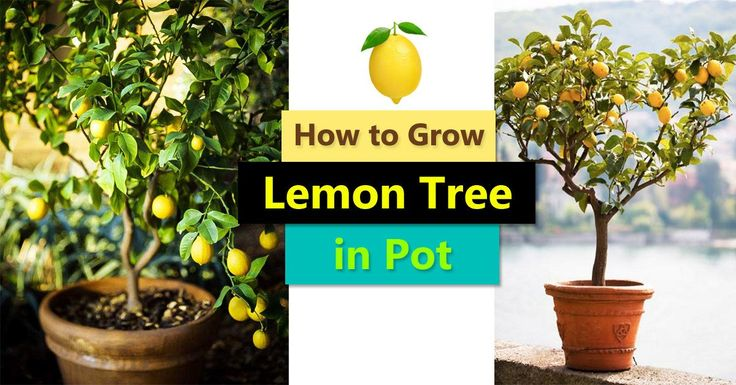 Best 25 lemon tree potted ideas on pinterest growing for Can i grow a lemon tree from lemon seeds