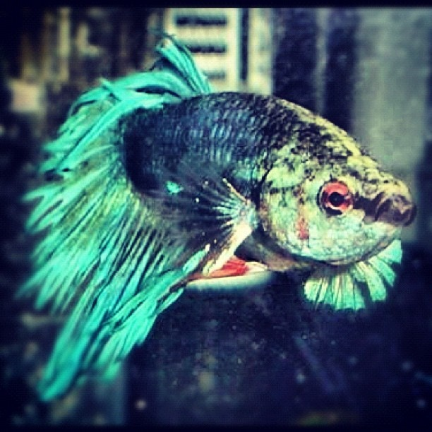 Check out the mug on this betta this is one fish with for Betta fish friends