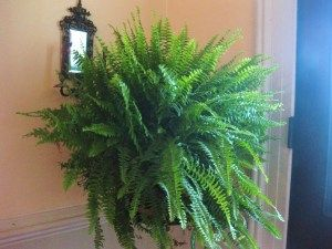 care, feeding and division of Boston ferns