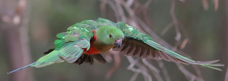Up Close And Personal by Michael Cleary   A female King Parrot I captured flying through the trees on my property. These are quite friendly birds and have integrated well with human development in bushland settings. Michael Cleary: Photos500px