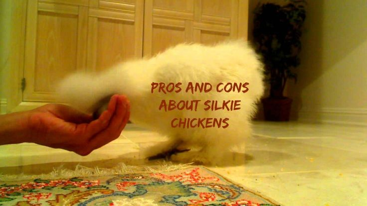 Everything you should know about Silkie Chickens, the good and the bad side of these fluffy chickens.