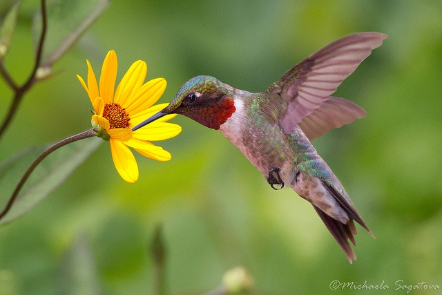 Ruby-throated Hummingbird (male) by Michaela Sagatova