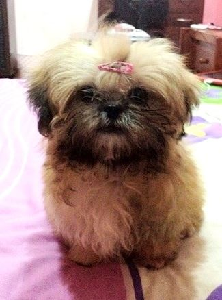 Shih Tzu Information and Pictures, Shih Tzus