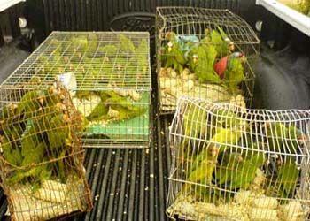 Guacamayas verdes almacenadas en cajas por cazadores.