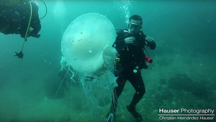 Как известно, воды Пуэрто-Вальярта в Мексике просто кишат медузами — это просто невероятно редкое зрелище. Кристиану Хаузеру (Christian Hauser) у берегов Махауитас удалось заснять огромную бе…