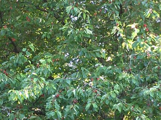 Cerezas delhuerto