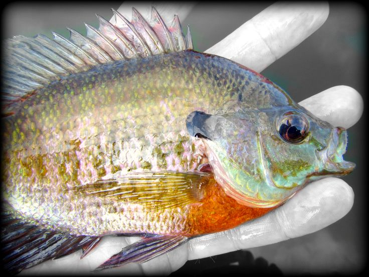Fly Fishing for bluegills can make an outing special.  Catching them on a light fly rod is crazy fun.