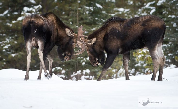 The moose rut in Jasper was prolonged and lingered into snowy November, giving us the chance to document the yearly mating ritual for the first time. Watching two bull moose clash is hardly a rare sight, but for us it was a first andthat registers on our list of most unique sights of 2017.