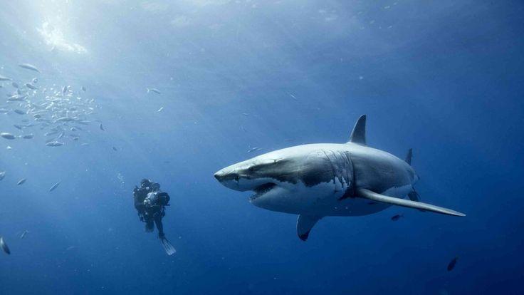 La rencontre impressionnante d'un plongeur et d'un grand requin blanc